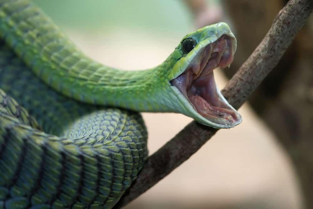 Boomslang Snake most venomous snake.