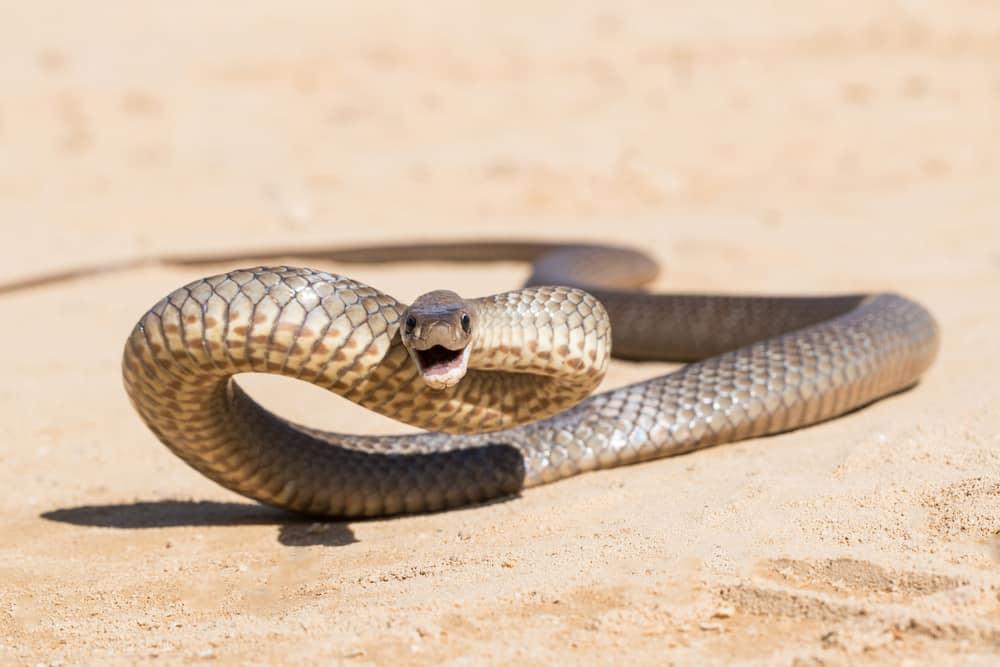Eastern Brown Snake is one of Australia's most venomous snake.