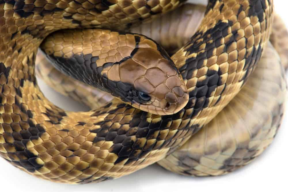 False water cobra in twirl with gold , black, and brown skin in white background.