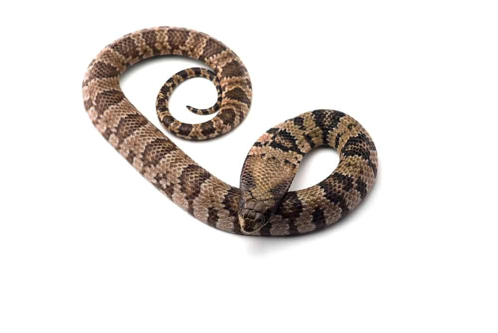 False water cobra with brown and black skin