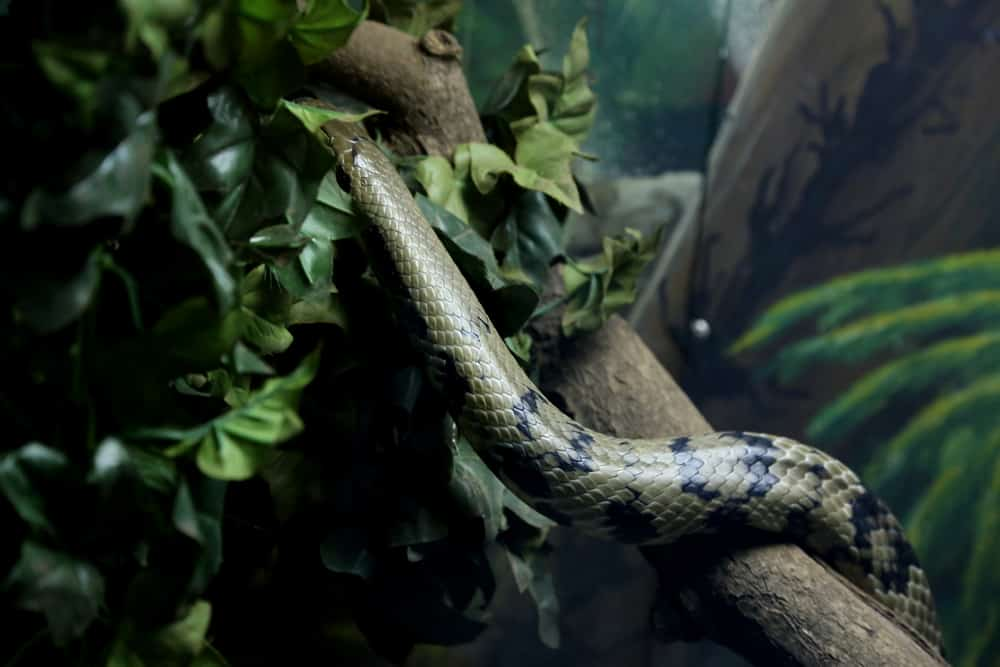 False water cobra with green and black skin climbing in tree with leaves.