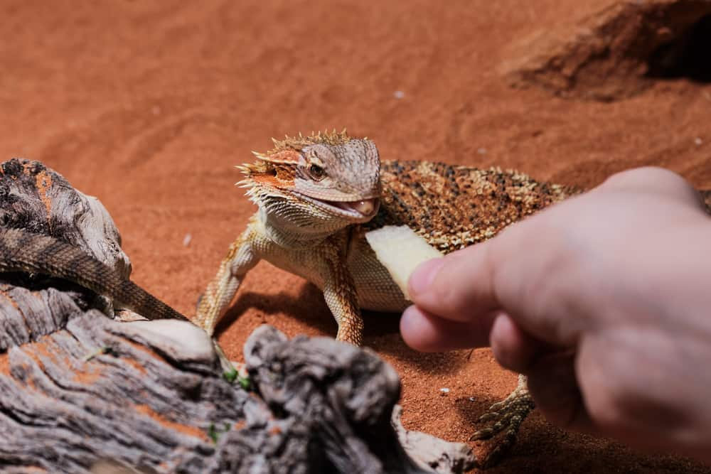 feeding of a young bearded dragon with piece of apple