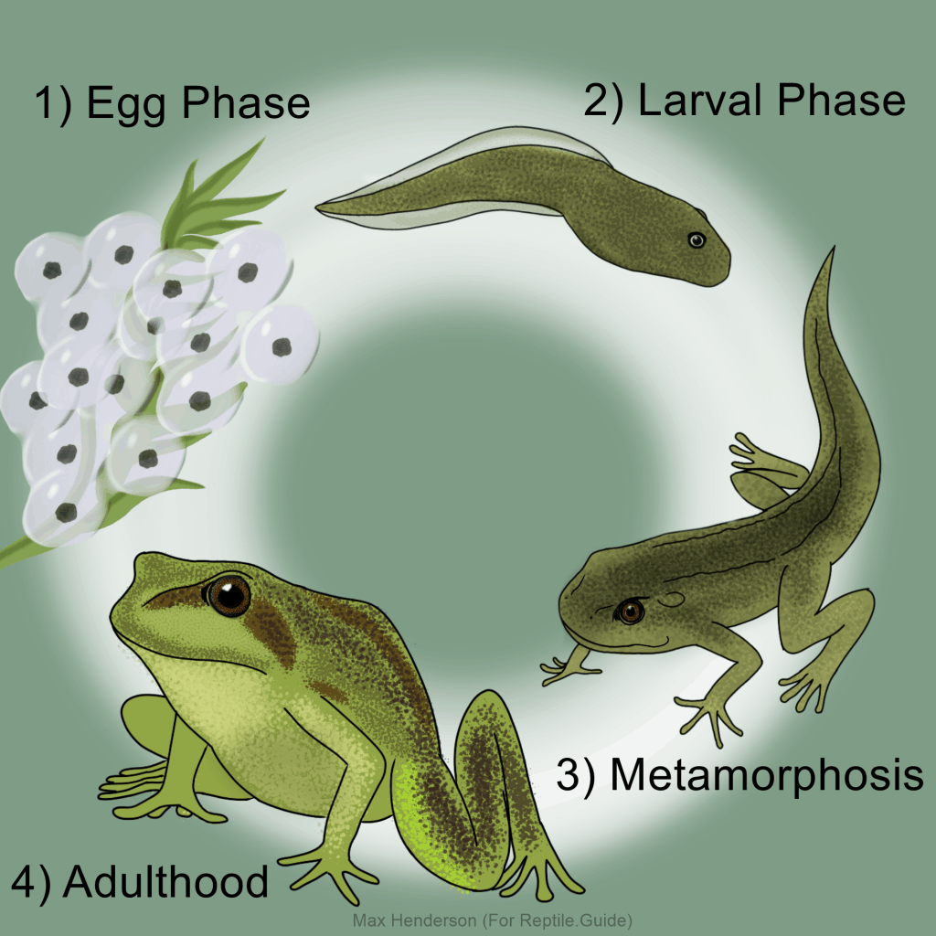 Life cycle of a frog illustration