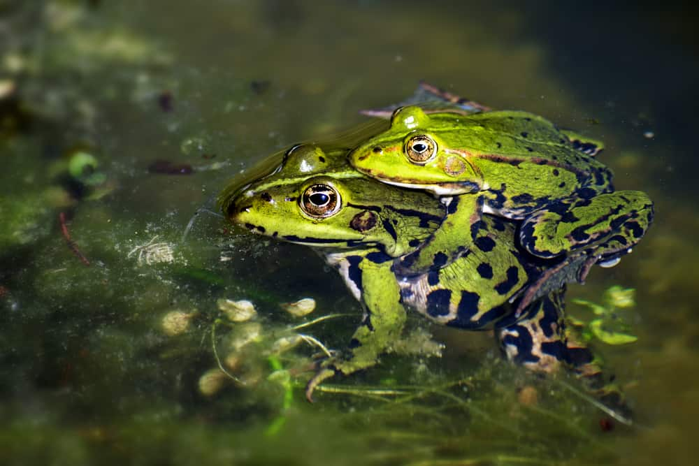 Frogs During Mating