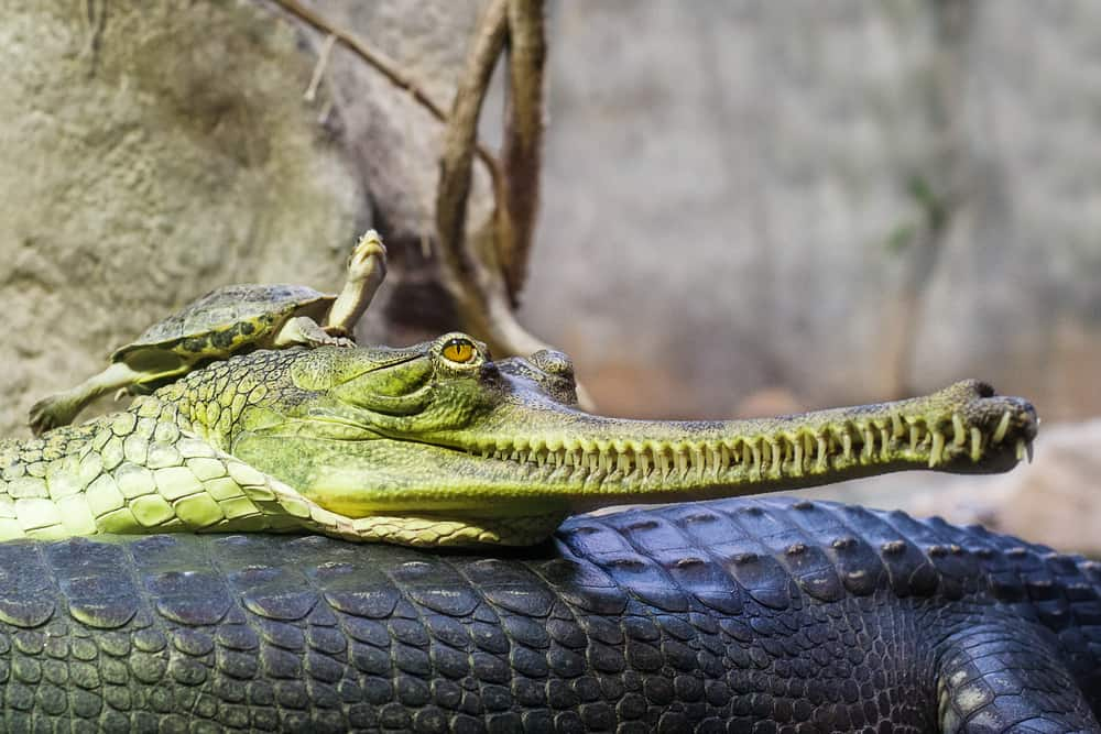 Gharial indian crocodile having a rest in water