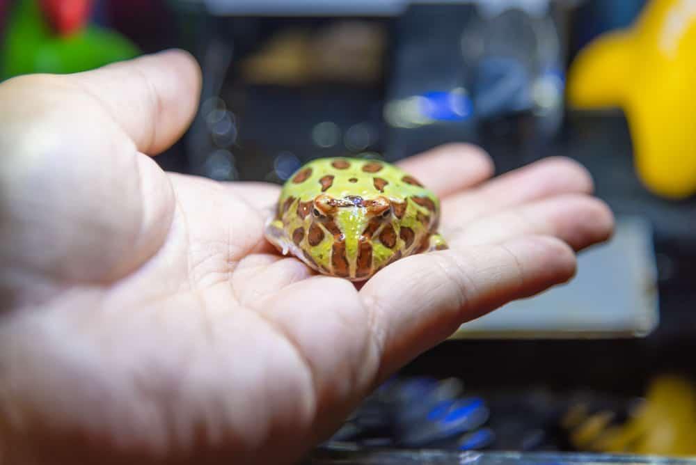 Horned Frog in hand