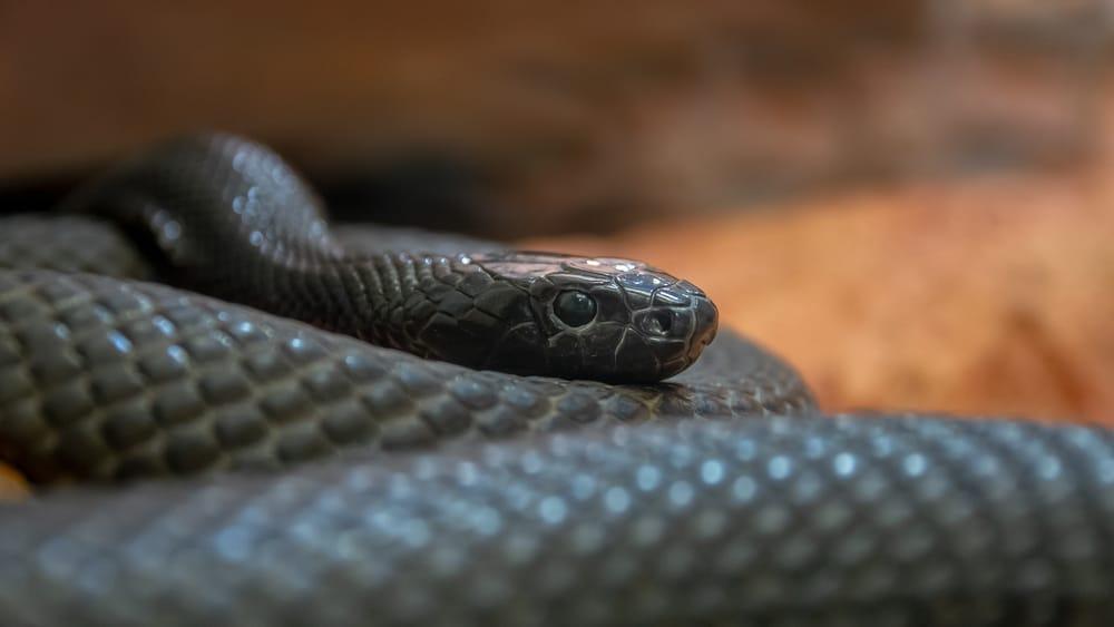 Inland Taipan is Australia's most venomous snake.