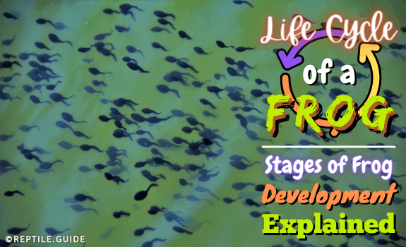 Life Cycle of a Frog Stages of Frog Development Explained