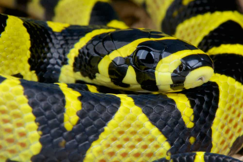 Mandarin Snake with Yellow and Black Color