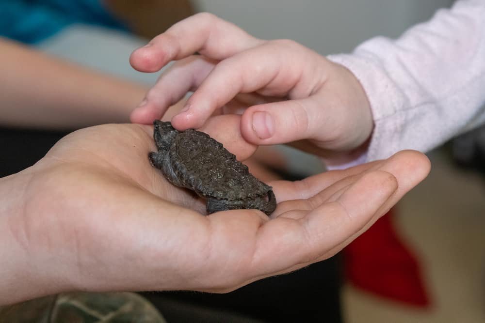 Kid's hand holding a Baby snapping turtle close up