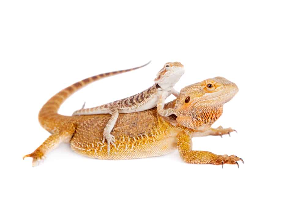 Orange mother bearded dragon with baby on her back
