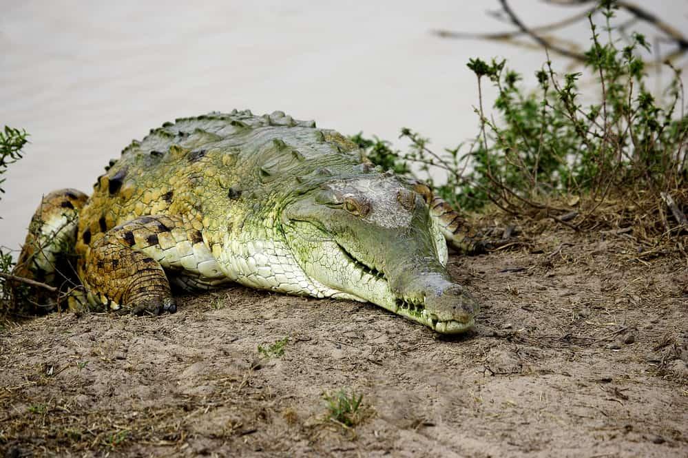 Orinoco croc