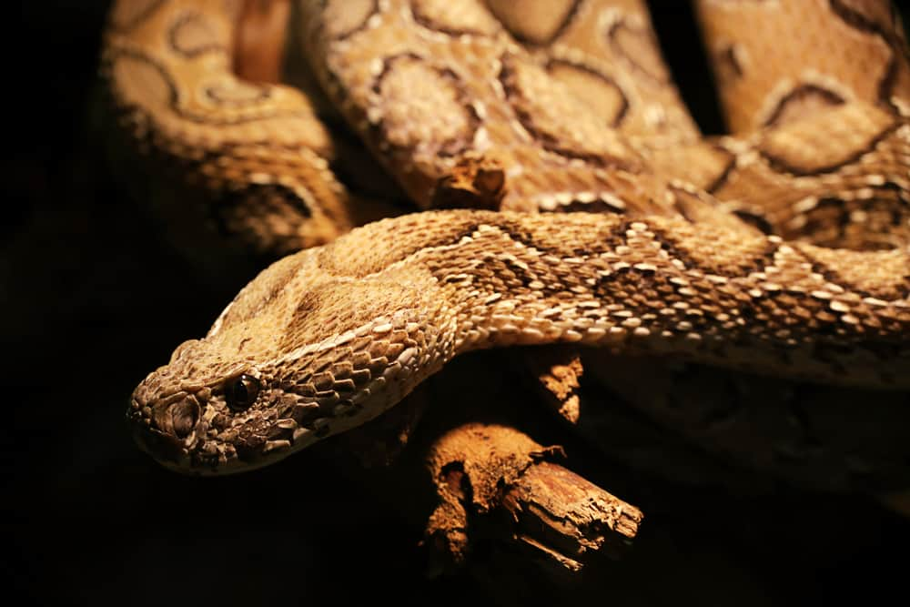 Russell's-Viper-most-venomous-snake