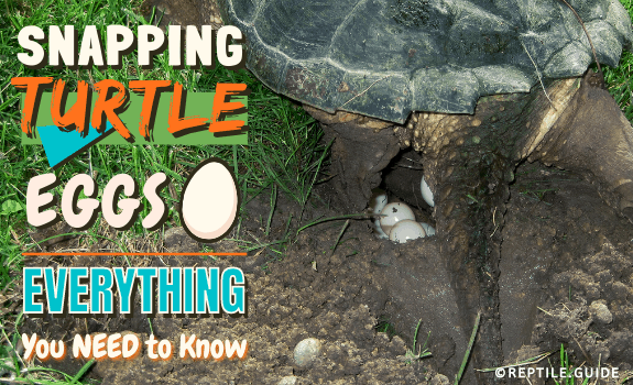 Snapping Turtle Eggs - Everything You Need to Know