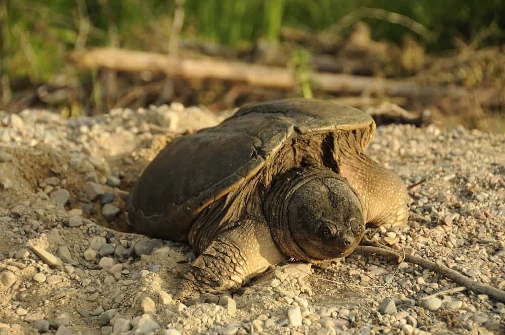 Snapping Turtle making a hole