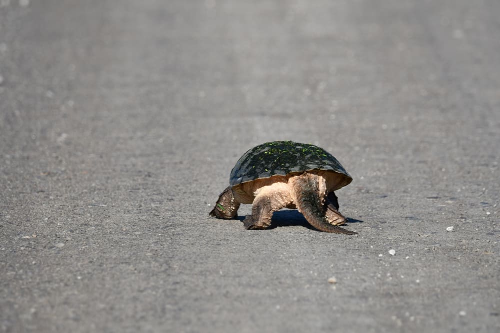 Snapping Turtle in middle of road