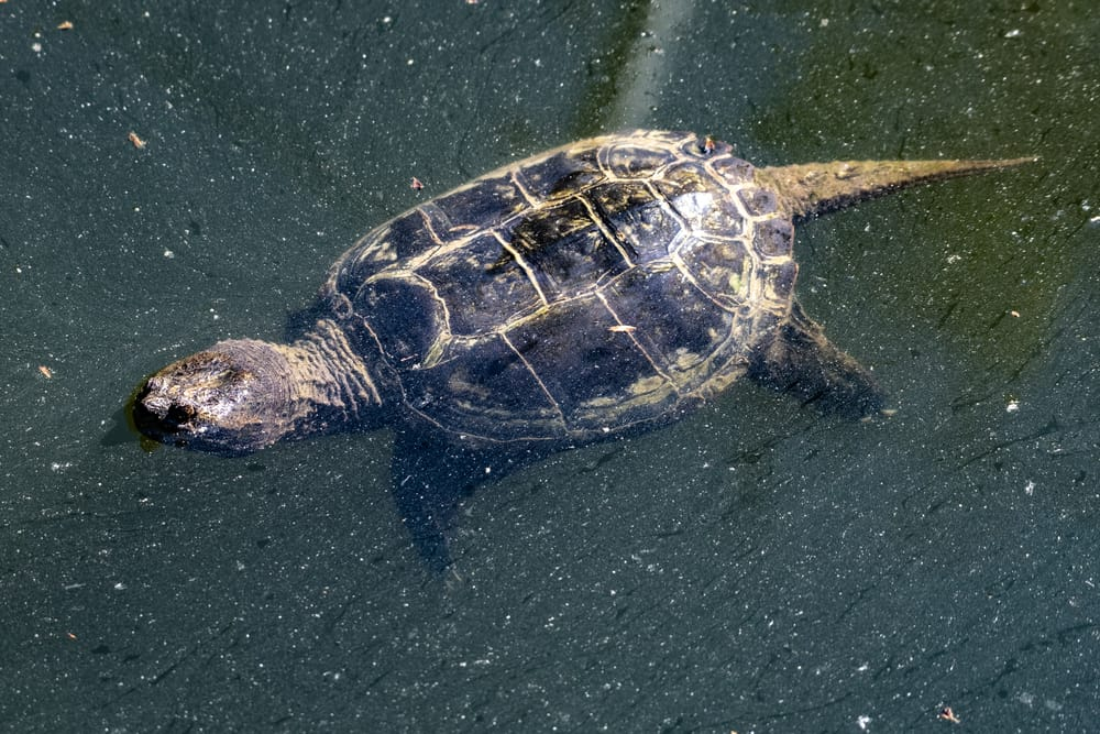 Snapping turtles rarely crawl