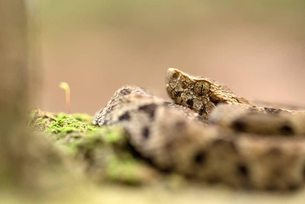 South America's Most Lethal Snake - Fer-de-Lance (Bothrops asper)