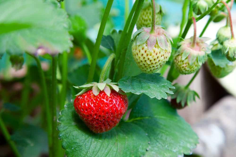 Strawberries on green leaves