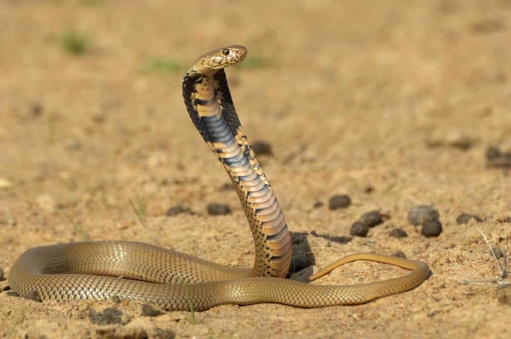 The Archer of the Snake World - Mozambique Spitting Cobra (Naja mossambica)