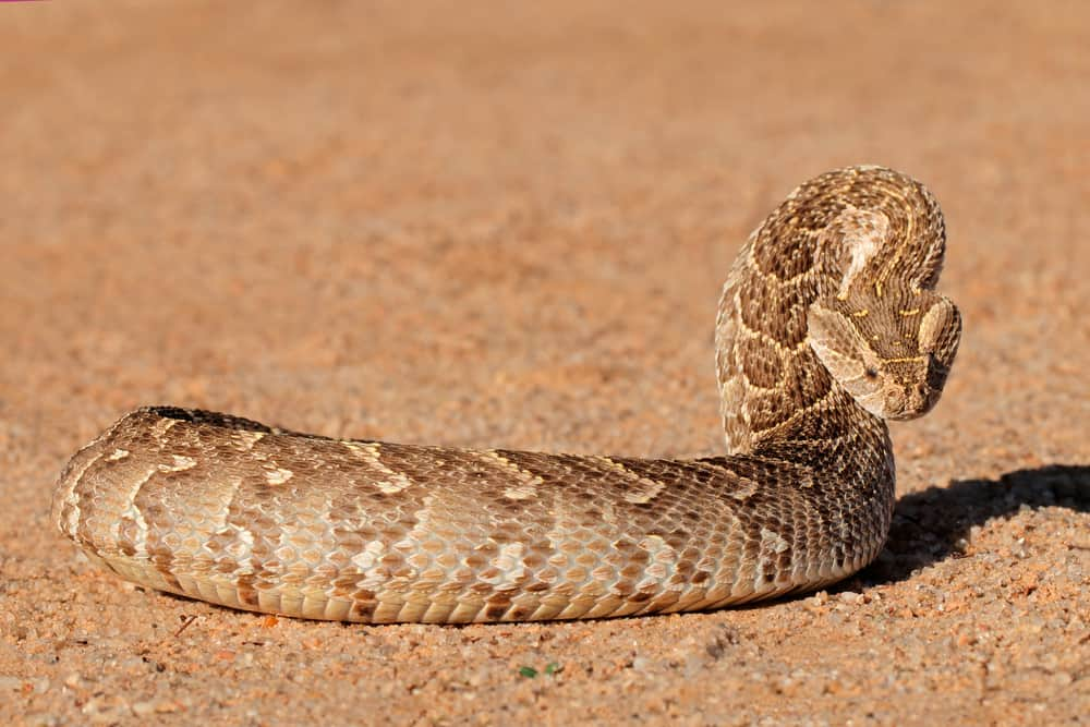 The Deadliest Snake in Africa - Puff Adder