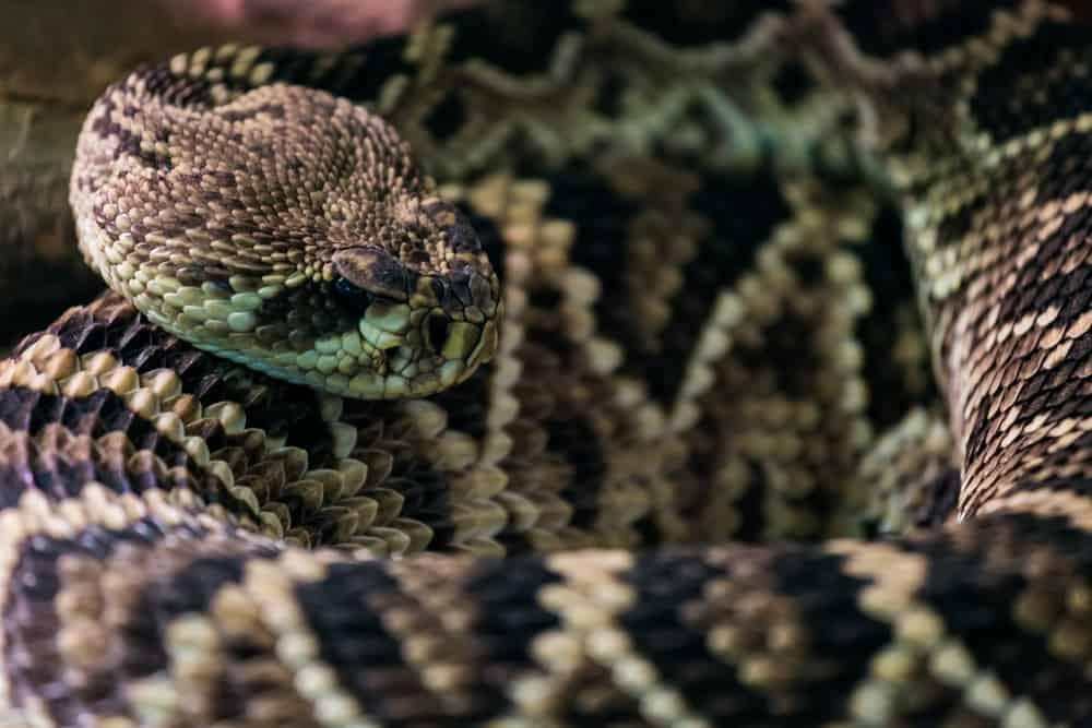 The Deadliest and most venomous  Snake in the US - Eastern Diamondback Rattlesnake