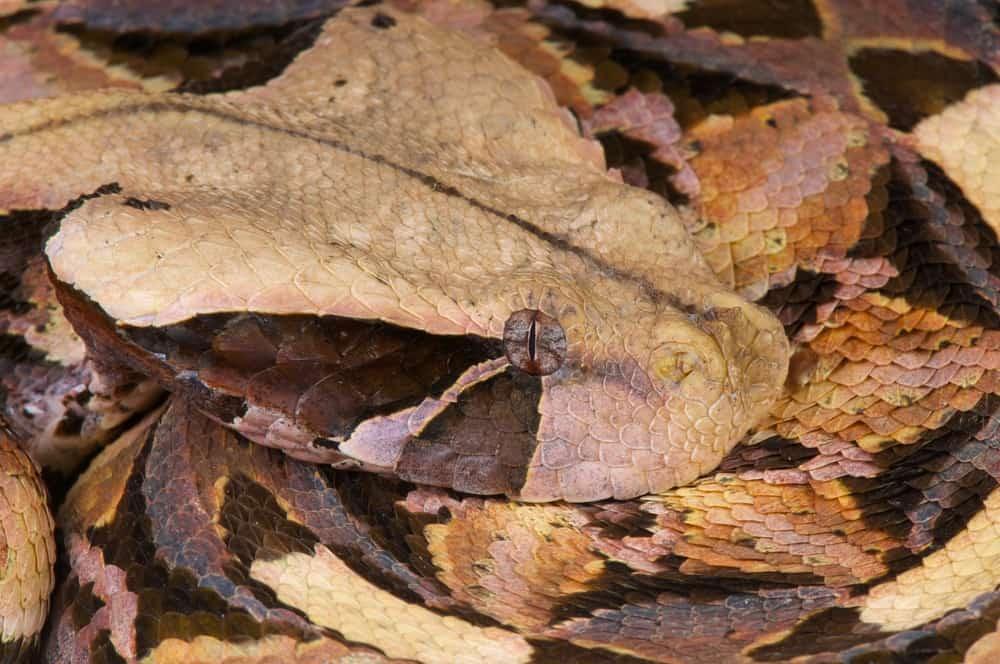 The Master of Camouflage - Gaboon Viper (Bitis gabonica)