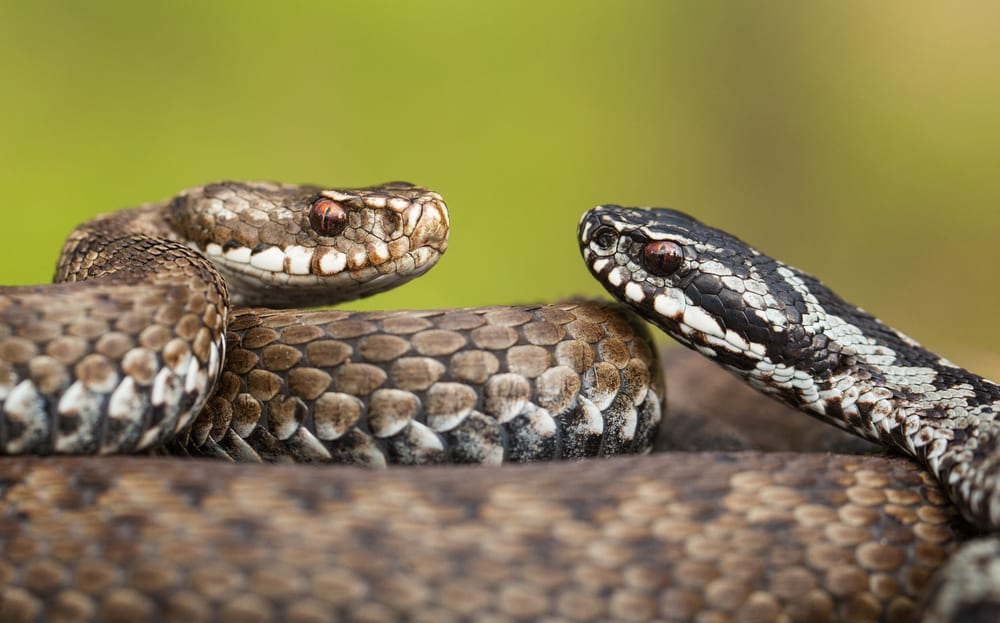 The Most Venomous Snake in Europe - Common European Viper (Vipera berus)