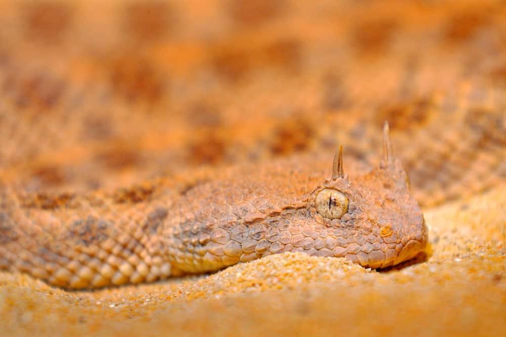 The Sniper of the Desert - Desert Horned Viper (Cerastes cerastes)