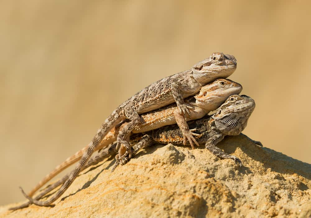 Three central bearded dragons on a yellow rock.