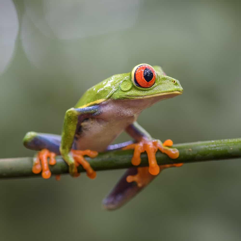 Tree-dwelling aquatic frog