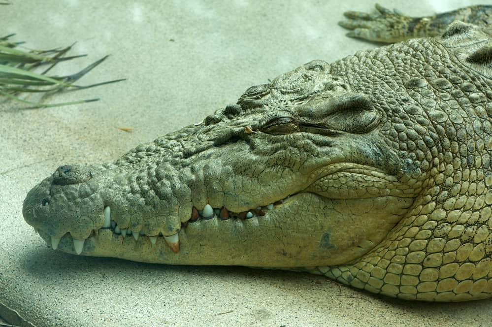 adult saltwater crocodile