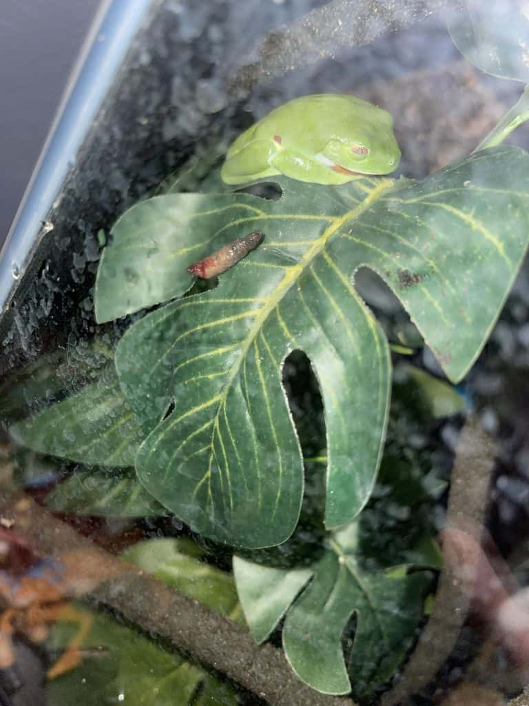 bloody frog poop in a leaf