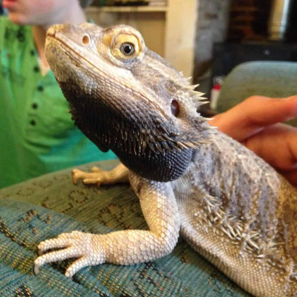 half-bodied bearded dragon with black beard