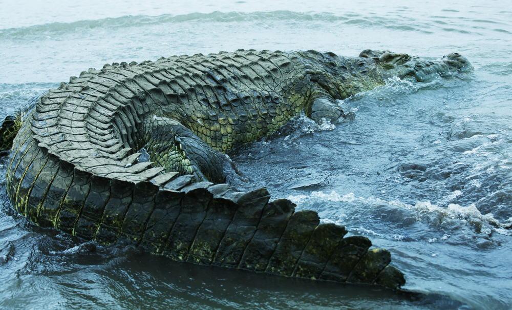 large crocodile in a seashore