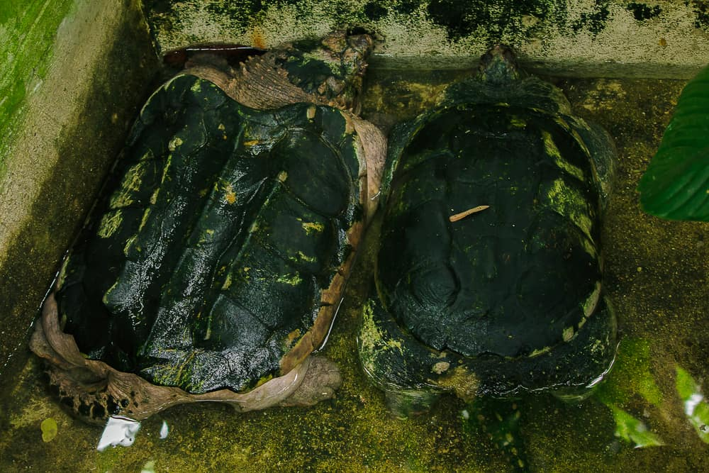 two adult snapping turtles