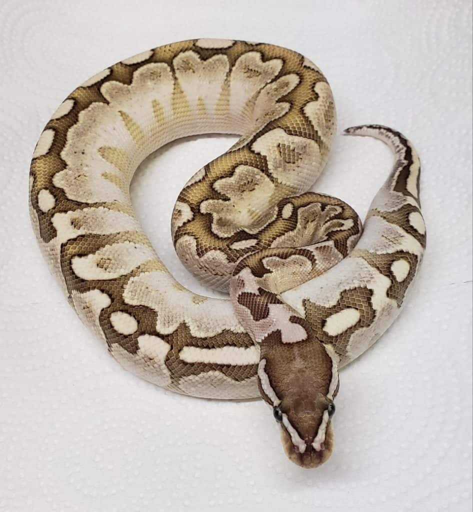 A male pastel yellow belly bamboo ball python weighing 260 grams