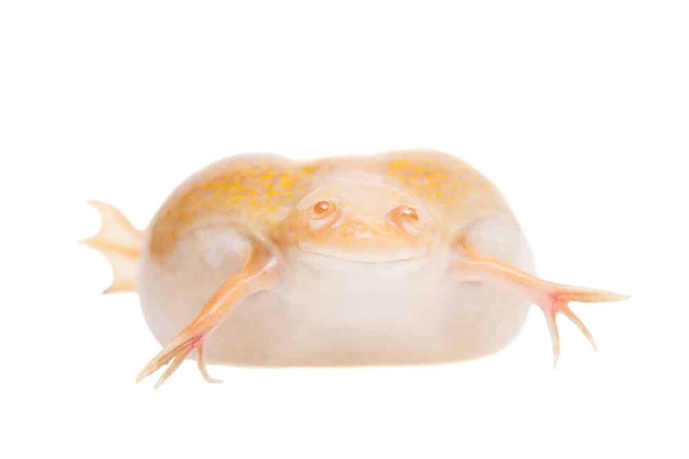 African Albino clawed frog with edema.