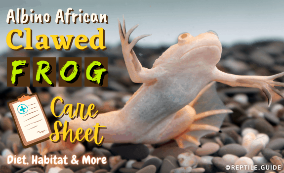 Albino African Clawed Frog Care Sheet Diet, Habitat & More