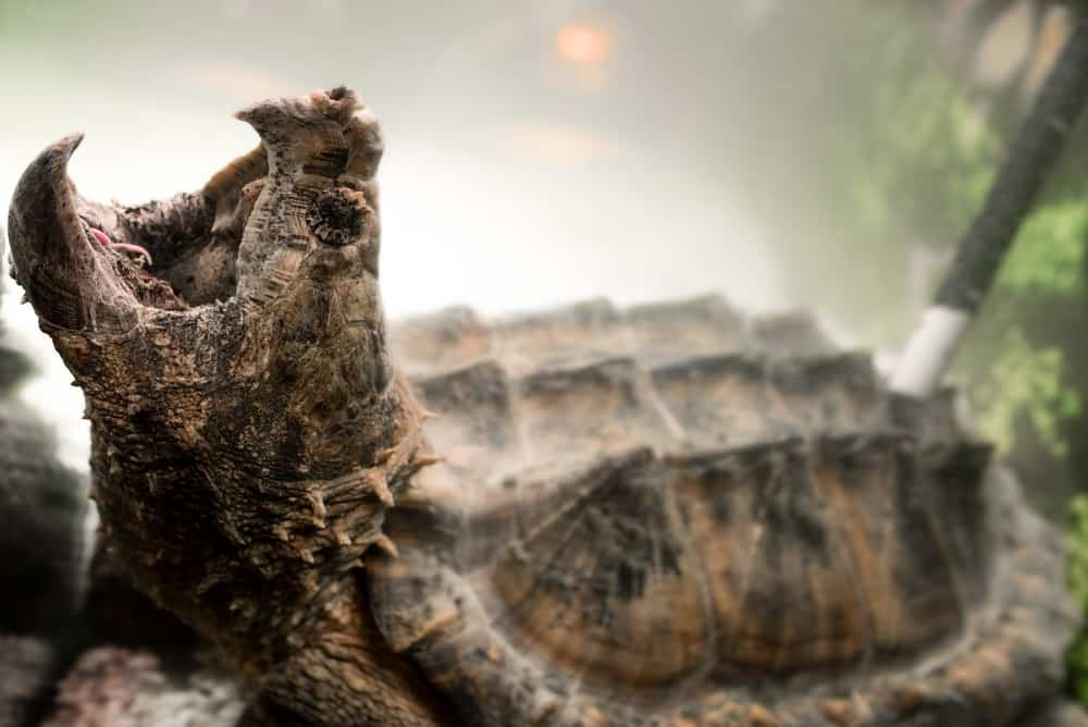 Alligator Snapping Turtle with its mouth opened