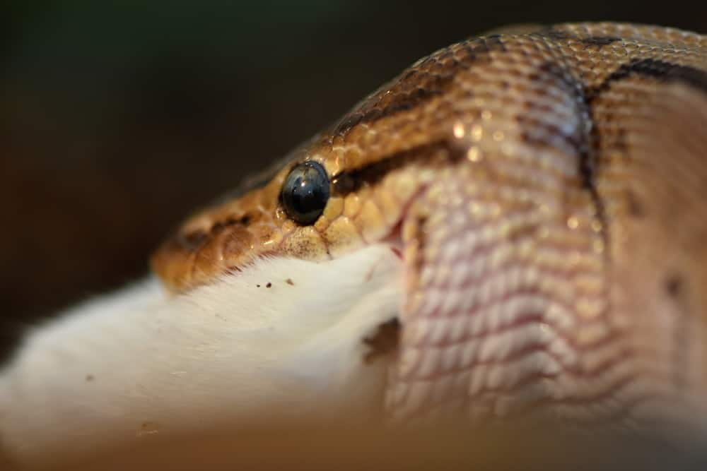 An adult corn snake eating