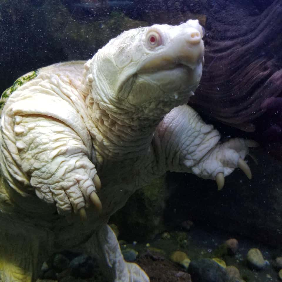 An albino snapping turtle