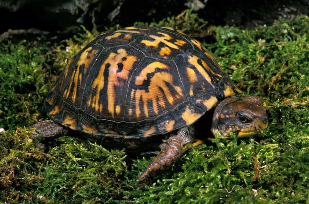 Box turtle on wet grass