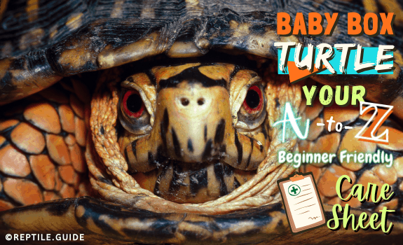 Baby Box Turtle Your A-Z Beginner Friendly Care Sheet