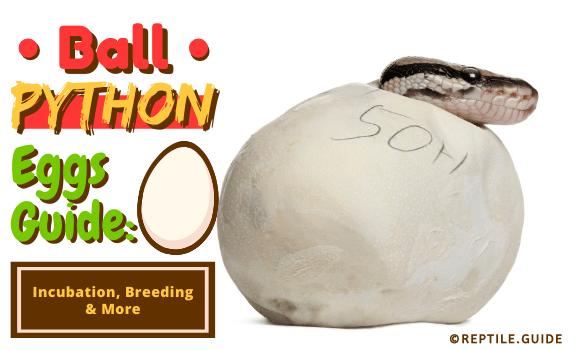 Ball Python Eggs Guide Incubation, Breeding & More