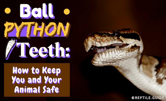 Ball Python Teeth How to Keep You and Your Animal Safe (2)