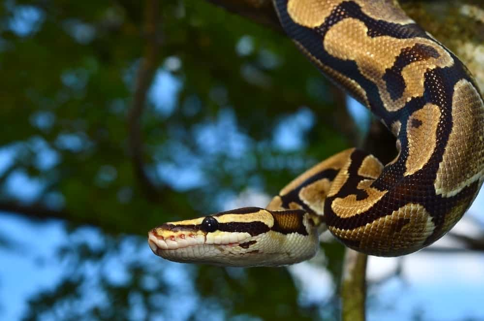 Fire Ball Python Snake wrapped around a branch best first snake