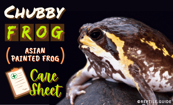 Chubby Frog (Asian Painted Frog) Care Sheet