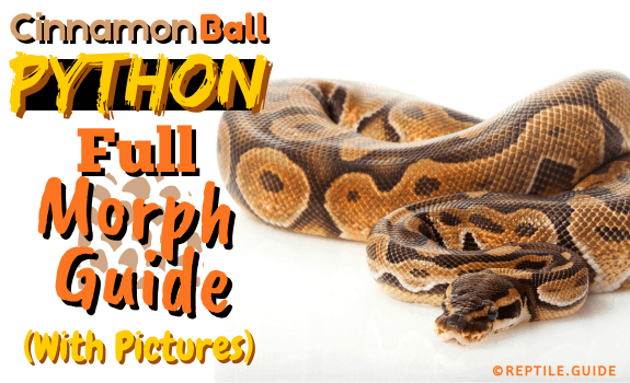 Cinnamon Ball Python Full Morph Guide (With Pictures) (1)