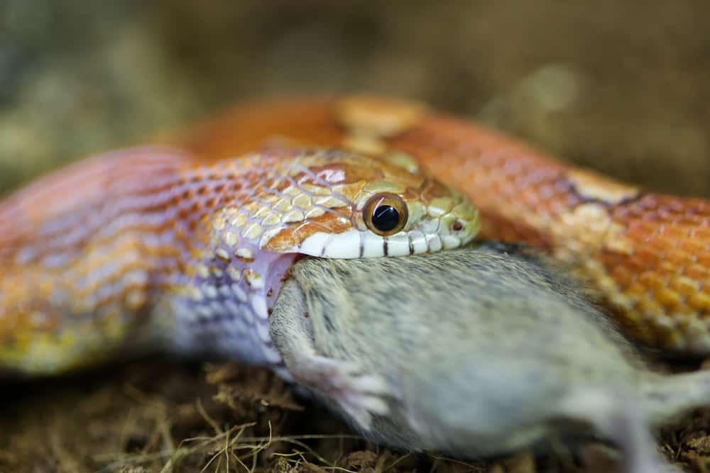 Corn snake eating a mouse closeup
